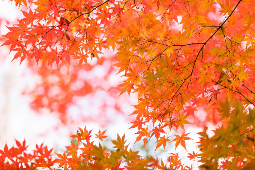 Autumn Beauty In Nature Branch Change Close-up Day Growth Leaf Low Angle View Maple Maple Leaf Maple Tree Nature No People Orange Color Outdoors Scenics Sky Sunlight Tree Vibrant Color