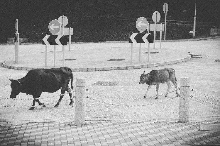 Cows Walking On Street