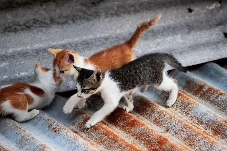 Three little cats cris-crossing the rooftop Baby Animals Cute Animals In The Wild KAWAII Kittens Nekko Rooftop Three Little Cats Fine Art Photography Showcase July