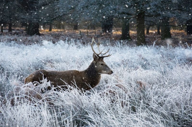 Deer On Snow Field During Winter