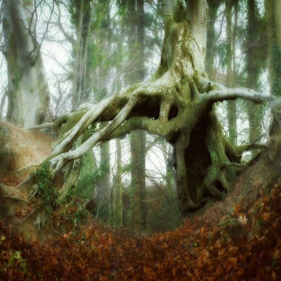 Naturelovers Nature Nature_collection Tree Tree_collection  Trees Treescollection Magical Trees Treescape Forest In The Forest Roots Nature Photography Beautiful Nature Fog Foggy Day Foggyweather Foggy Forest Spooky