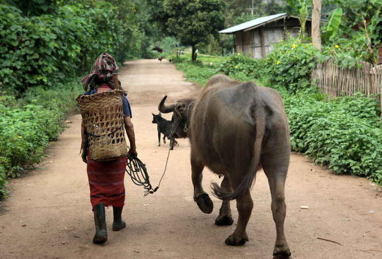 Rear view of person with buffalo walking on pathway