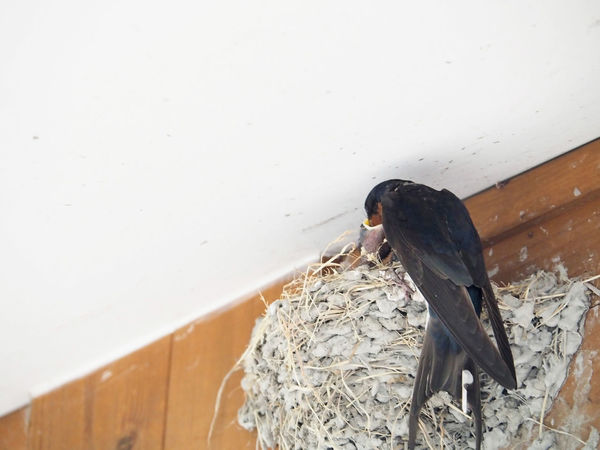 Swallows giving food to children (子供に食べ物をあげるツバメ) Ad Copy Space Japan Nature Animal Animal Wildlife Animals In The Wild Bird Black Color Brown Copy Space Gray Landscape Margin No People No Person Nobody Outdoors Swallow Swallows Text Space White Wild Wild Bird Young Bird