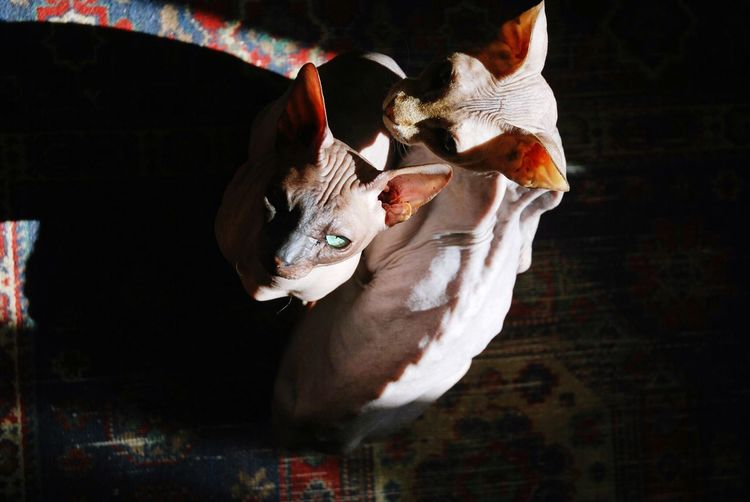 High Angle View Of Sphynx Cats Sitting On Floor At Home