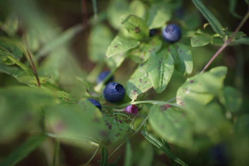 Nature Leaf Plant No People Growth Close-up Green Color Day Outdoors Beauty In Nature Fragility Scandinavia Sweden Blueberry Berry Blue Nobody Travel Atmosphere Explore Collect Enjoy