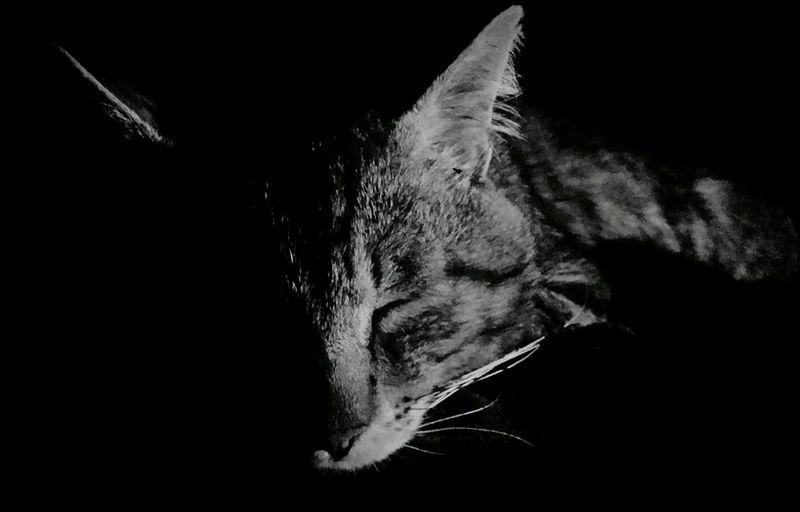 CaetanoOgato, Cat, Animal, Gatos P&B