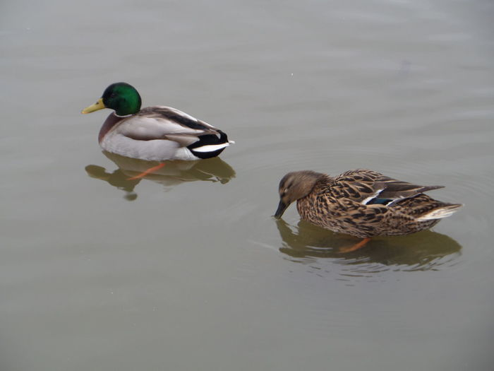 Animal Themes Ducks. Day Lake Male And Female Ducks. Mallard Duck Mallard Ducks Pair. Nature. No People Outdoors Pairing. Partners. Partnership. Rippled Water Wildlife