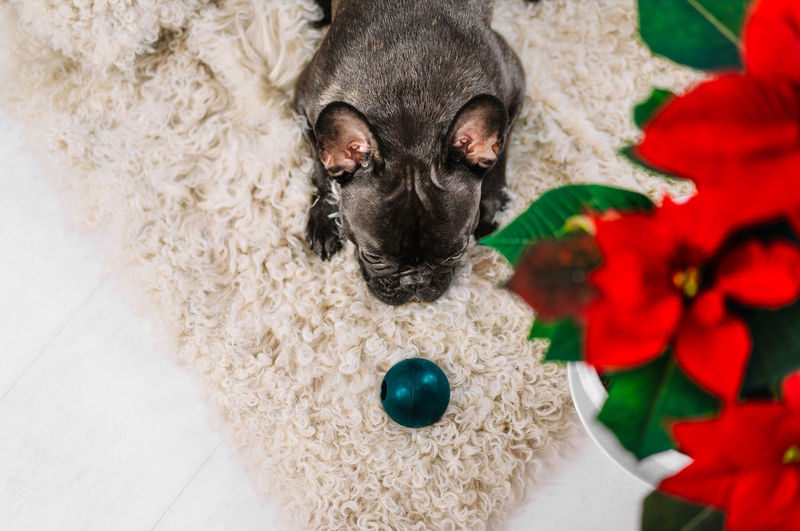 High angle view of brindle french bulldog with toy
