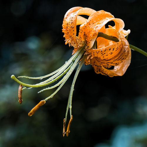 Bokeh Botanischer Garten Lilien Lilium Martagon Makro Orange Color Raindrops Regentropfen Turk's Cap Lily Türkenbund Türkenbund-Lilie