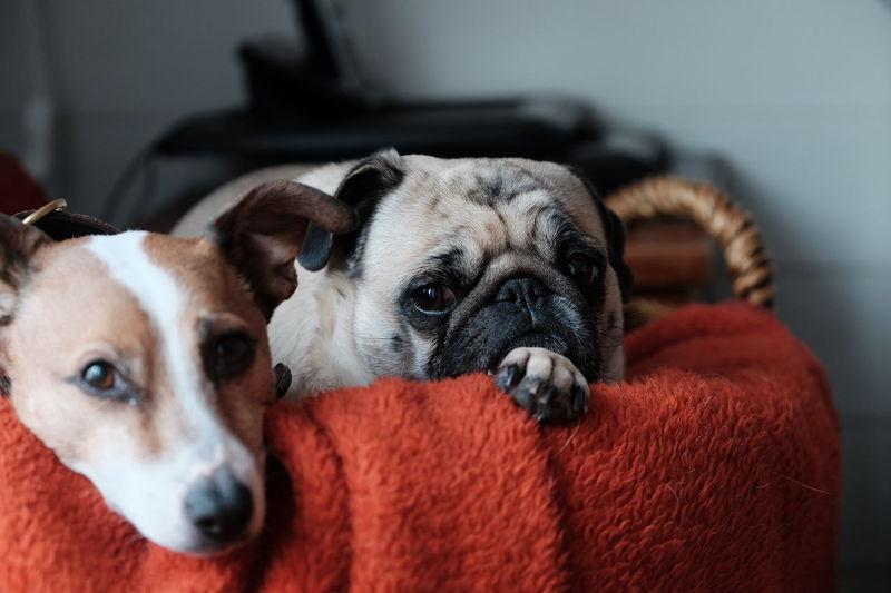 Pug Dogs Pets Enjoying Life FUJIFILM X-T1 Hund Mops Dansk-Svensk Gårdshund
