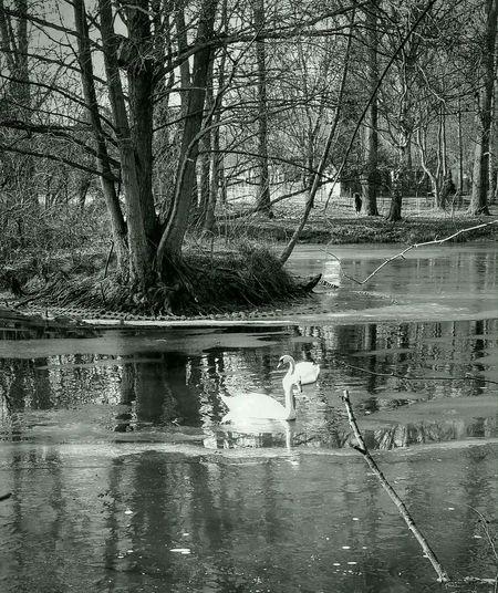 Schwäne im Winter Swimming Swans Frozen Nature Swan Lake In Ice Water Tree Reflection