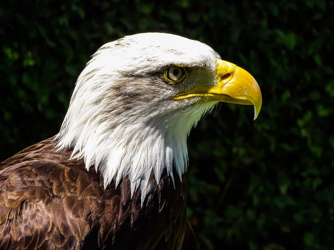 American Eagle Bald Eagle Bald Eagle Portrait Animal Themes Animal Wildlife Animals In The Wild Bald Eagle Bald Eagle Close-up Bald Eagles Beak Bird Bird Of Prey Close-up Day Focus On Foreground Nature No People One Animal Outdoors