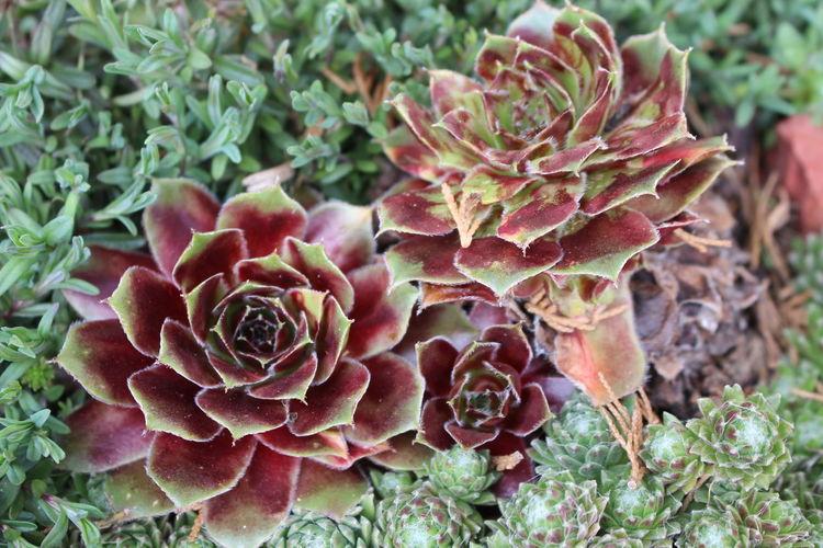 Hauswurz Steingarten Garden Nature_collection
