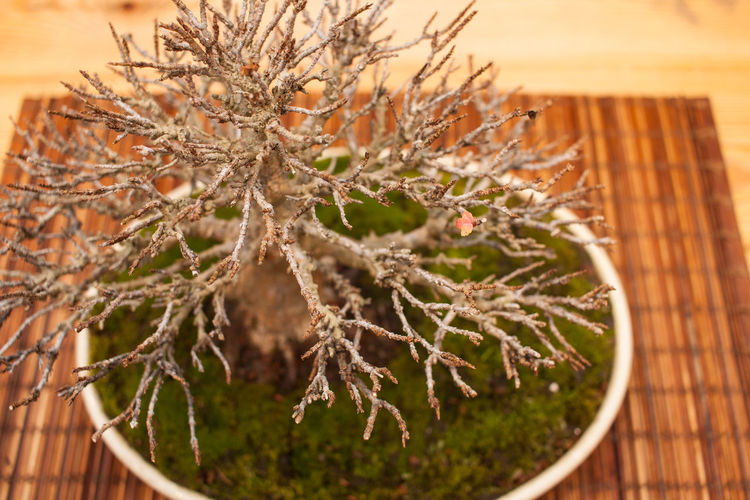Bare Tree Bonsai Bonsai Tree Close-up Day Growth Indoors  Nature No People Plant