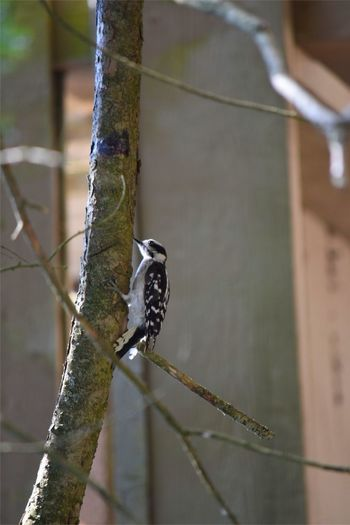 Same Picture Different Angle Nature_collection Landscape_collection EyeEmNatureLover Southbury Ct Birds Eye View Woodpecker In Tree