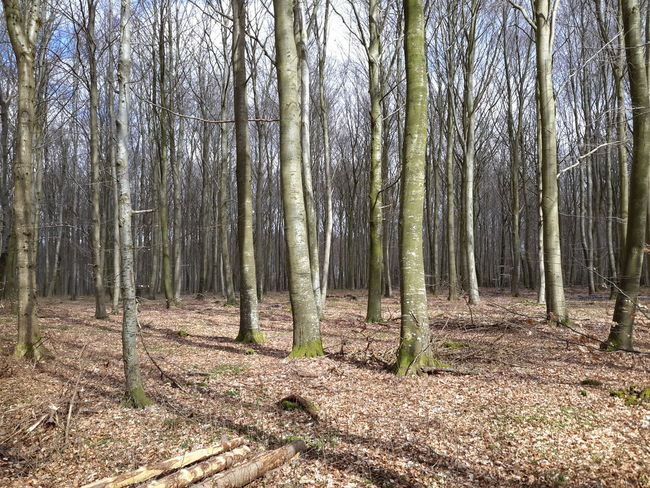 Tree Forest Tree Trunk Nature Growth WoodLand Non-urban Scene Beauty In Nature Outdoors Tranquility Scenics Day No People Landscape Sky - in The Danish Countryside