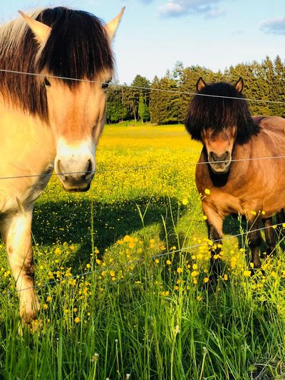 Creamie: Haaave you met Brownie?🐎🐎💕#Ponies Ponies Pony Life Pets Animal Themes Domestic Animals Domestic Mammal Animal Vertebrate Outdoors Grass Nature Sunlight The Still Life Photographer - 2018 EyeEm Awards