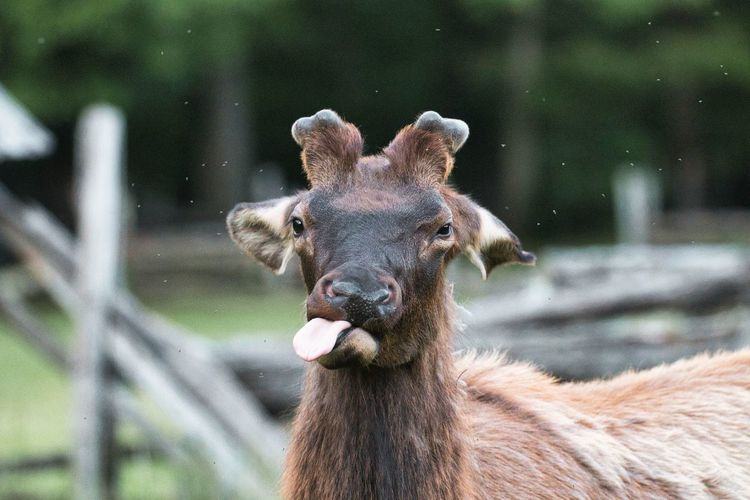 I capture this photo of the majestic elk in cherokee, north carolina.