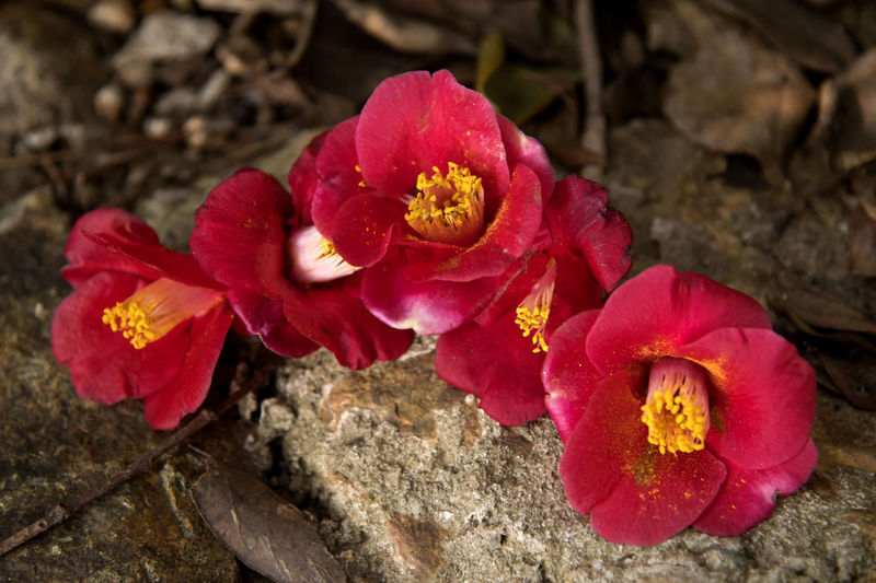 fallen camellia flowers at Jangsado Island in Tongyeong, Gyeongnam, South Korea. Taken with Nikon d850 Camellia Fallen Flowers Nature's Beauty Nikon D850 South Korea Tongyeong Beauty In Nature Beauty Of Nature Camellia Flower Camellia Flowers Close-up D850 Day Drooped Drooped Flower Fallen Flower Flower Flower Head Flowering Plant Focus On Foreground Fragility Freshness Growth Inflorescence Jangsado Nature No People Outdoors Petal Plant Pollen Red Rock Spring Flower Spring Flowers Spring Time Vulnerability
