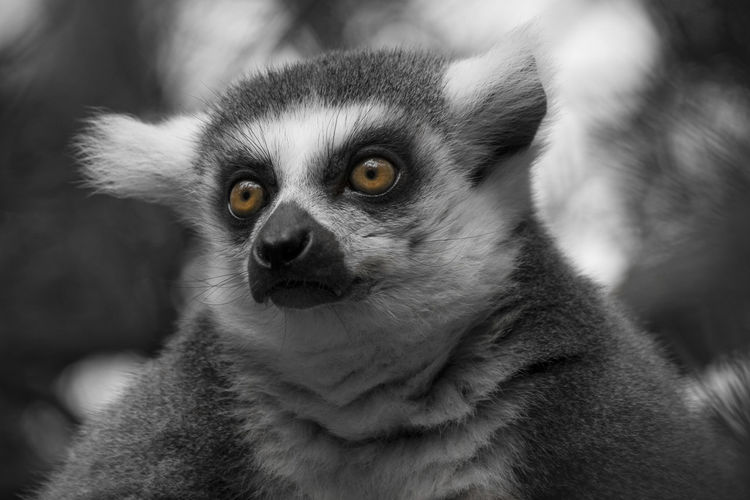Day At The Zoo Animal Themes Animal Wildlife Close-up Lemur Mammal Monkey Nature Outdoors Zoo Animals