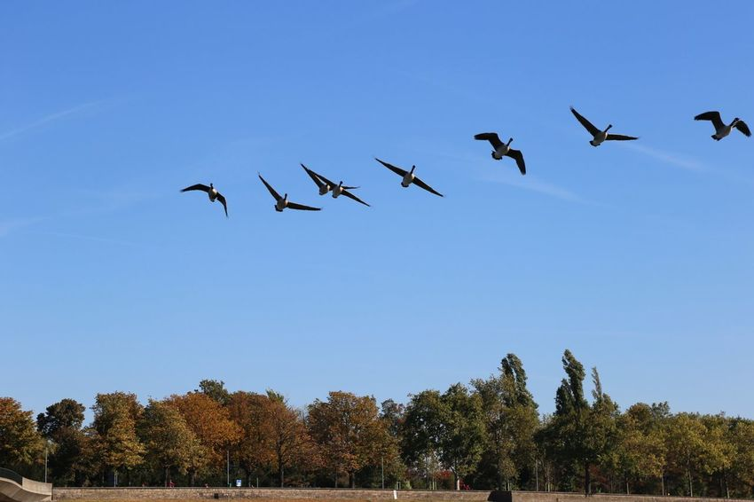 Swarm Of Birds Flying Goose Clear Blue Sky Blue Sky Animals Birds