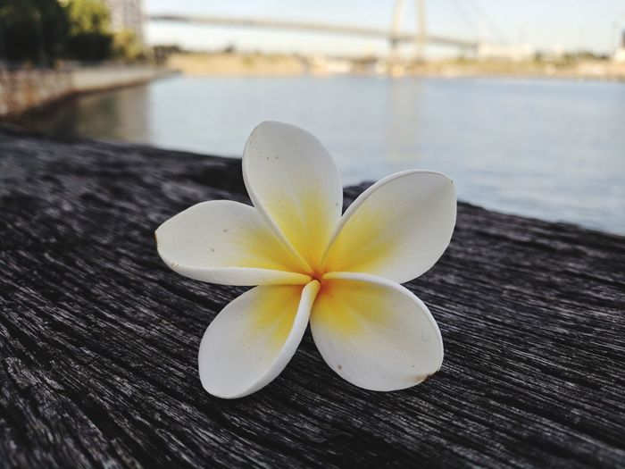 Frangipani Water Flower Flower Head Lake Wet Close-up Pier Calm Ocean