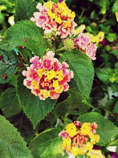 Flower Plant Lantana Pink Color Leaf Nature Beauty In Nature Fragility Flower Head Outdoors Day Multi Colored Green Color Lantana Camara No People Petal Freshness Close-up Flowers, Nature And Beauty Flowerlovers Flowers_collection Flowerporn Flower Collection Flower Porn Flower Photography
