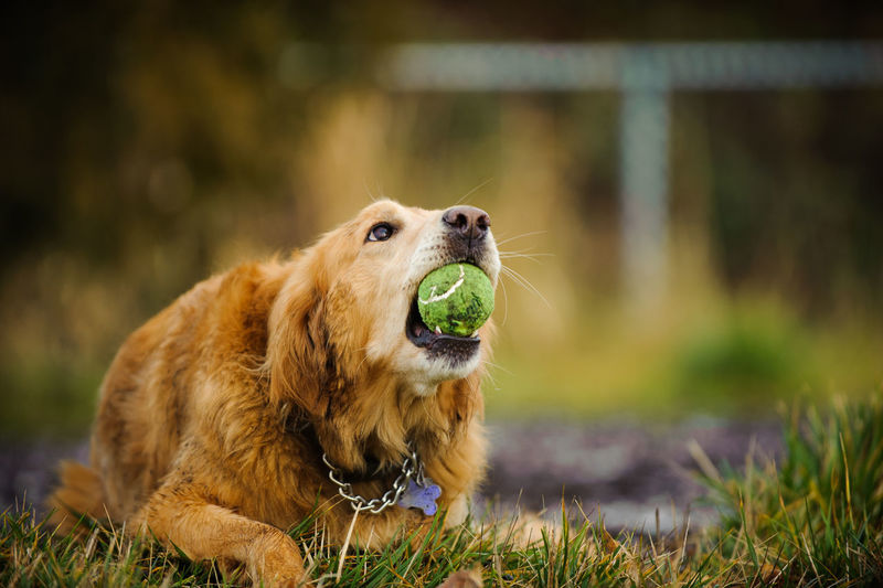 Close-up of dog carrying ball in mouth