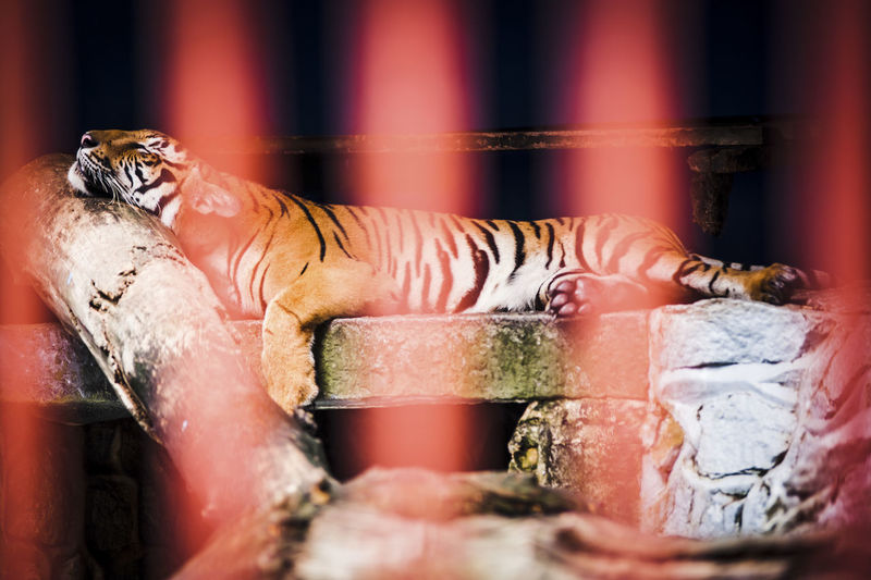 Animals Caged Captivity Carnivor Cats Close-up Furry Hairy  Mammals Nature Resting Selective Focus Sleepy Tiger Whiskas Wildlife Zoo