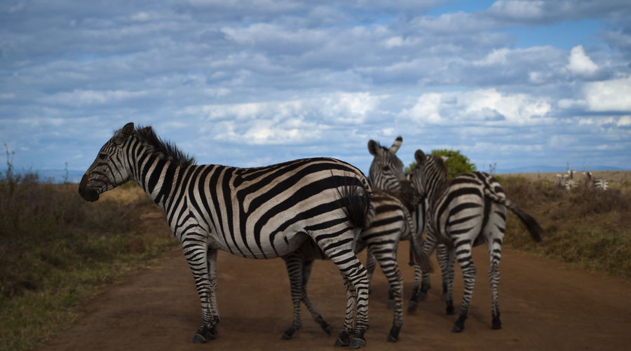 Zebra Striped Animals In The Wild Animal Wildlife Mammal No People Nature Animal Themes Cloud - Sky Outdoors Safari Animals Day Full Length Standing Sky Nature Wildlife & Nature Animals In The Wild Wildlife Nairobi Zebra Wildlife Photography