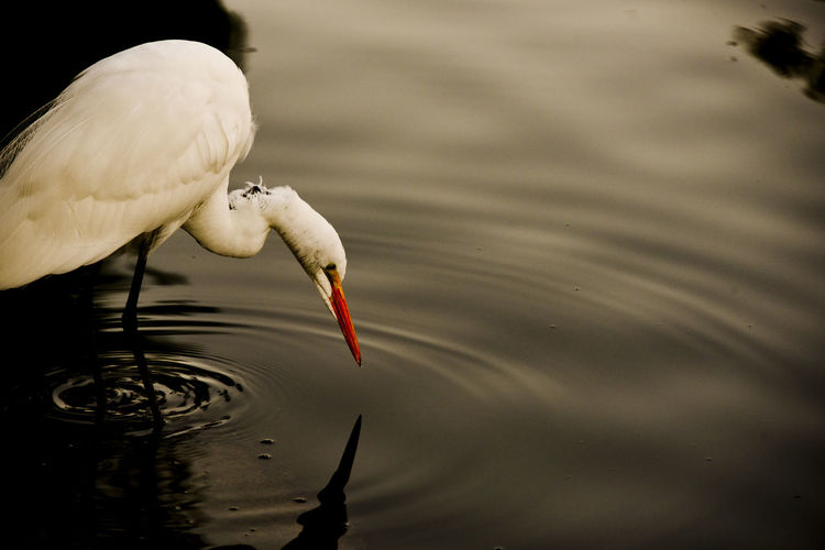 Close-up of white egret in water