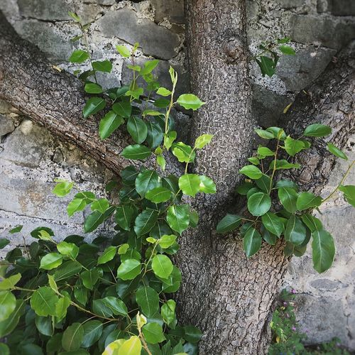 Stone, wood & fresh leaves... Garden Photography Garden Wall Old Tree Fresh Leaves Textures Contrast Leaves Green Leaves_collection Leaves🌿