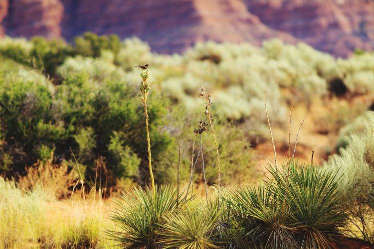 desert morning Yucca Desert Desert Beauty Bird Black Phoebe Yucca Utah Southern Utah  Southwest  Plant Cactus Spiked Uncultivated Spiky Arid