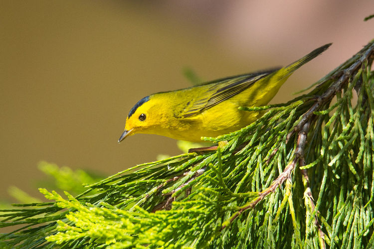 Wilson's Warbler Perched on a Cypress Tree #1 Cypress Sunny Tree Warbler Animal Animal Eye Animal Themes Animal Wildlife Animals In The Wild Beak Bird Black And Yellow  Bokeh Photography Close-up Day Green Color Nature No People One Animal Outdoors Plant Selective Focus Side View Wilsons Warbler Yellow