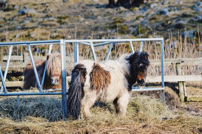 Ponies Animal Themes Domestic Animals Mammal Two Animals Outdoors No People Day Nature Grass Animal Horse Pony Cute Farm Farm Life Ponies Miniature Horses