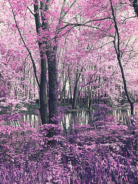 Tree Beauty In Nature Nature Flower Pink Color Blossom Tranquil Scene No People Springtime Growth Tranquility Tree Trunk Scenics Freshness Outdoors Landscape Branch Day Forest Fragility