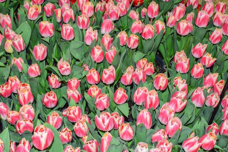 Full frame shot of pink tulips