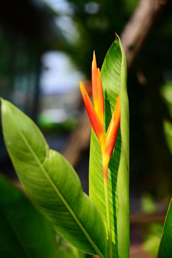 Yellow Heliconia flower with green leaves Plant Growth Beauty In Nature Leaf Plant Part Close-up Focus On Foreground Freshness Flower Flowering Plant Vulnerability  Nature Green Color Fragility Day No People Orange Color Bird Of Paradise - Plant Petal Inflorescence Flower Head