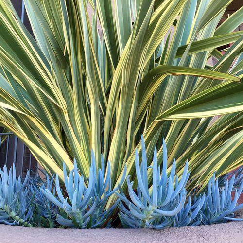 Phormium and Senecio . New Zealand Flax Succulents Pastel Power