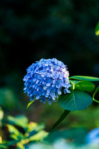 Japan Beauty In Nature Blue Bunch Of Flowers Close-up Day Flower Flower Head Flowering Plant Focus On Foreground Fragility Freshness Growth Hydrangea Inflorescence Leaf Nature No People Outdoors Petal Plant Plant Part Purple Vulnerability  The Great Outdoors - 2018 EyeEm Awards