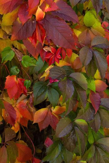 Full frame shot of pink leaves on plant