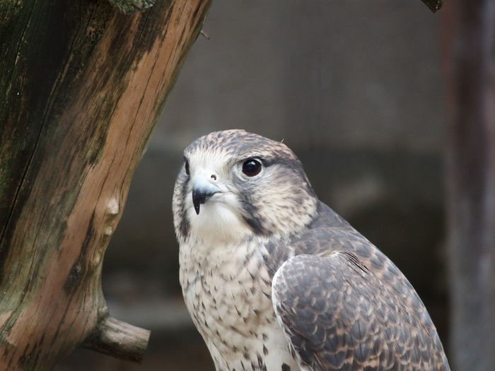 Close-up of falcon on tree trunk