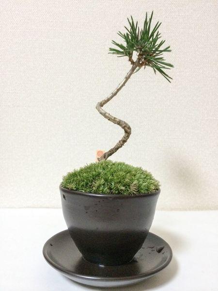 Bonsai Bonsai Tree Bonsai Mini  Black Pine Pine Mini Flower Pot Moss Nature Green