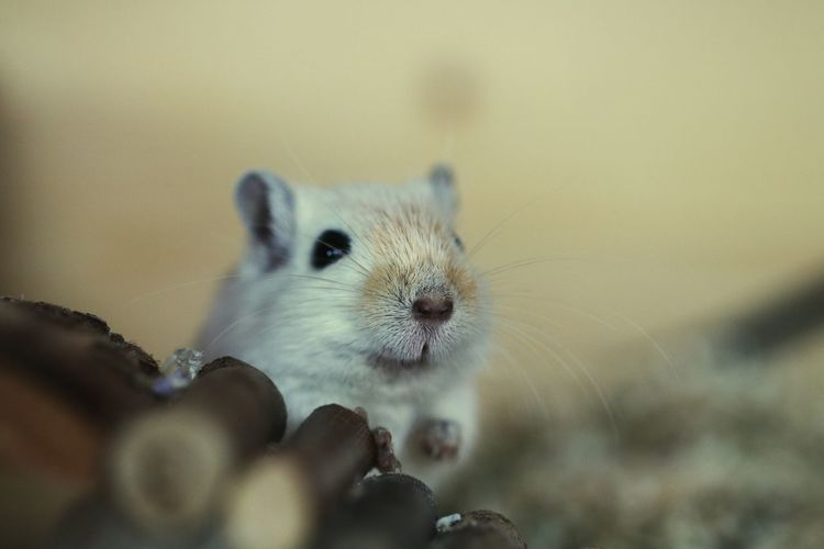 One Animal Animals In The Wild Animal Themes Animal Wildlife Animal Nature Mammal No People Close-up Outdoors Day Mouse Domestic Animals Domestic Mouse Cute Cute Animal Cute Domestic Animal