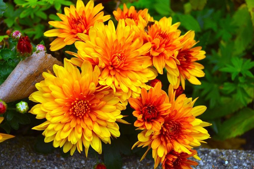 Autumn Blast Beauty In Nature Blooming Close-up Flower Freshness In Bloom Orange Color Yellow Orange Yellow Flower Red Green Blooms Blooming Flowers Spring Bright Flowers Pretty Yellow Flowers Orang Flower Group Of Flowers Michigan In Bloom! Picking Flowers  Dearborn Henry Ford Estate