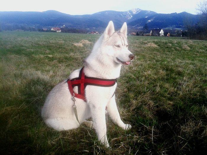 Siberian Husky Frydlant Nad Ostravici I Love My Dog