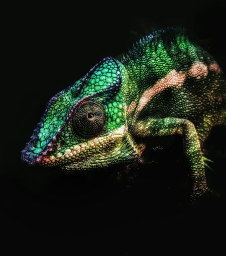 New addition to my Zoo....a male Panther Chameleon q;^) Check This Out EyeEm Nature Lover Animal Portrait Animal_collection Reptile Collection Chameleons Panther Chameleon Nature_collection Chameleon_collection