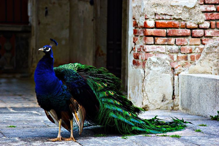 Side view of a peacock