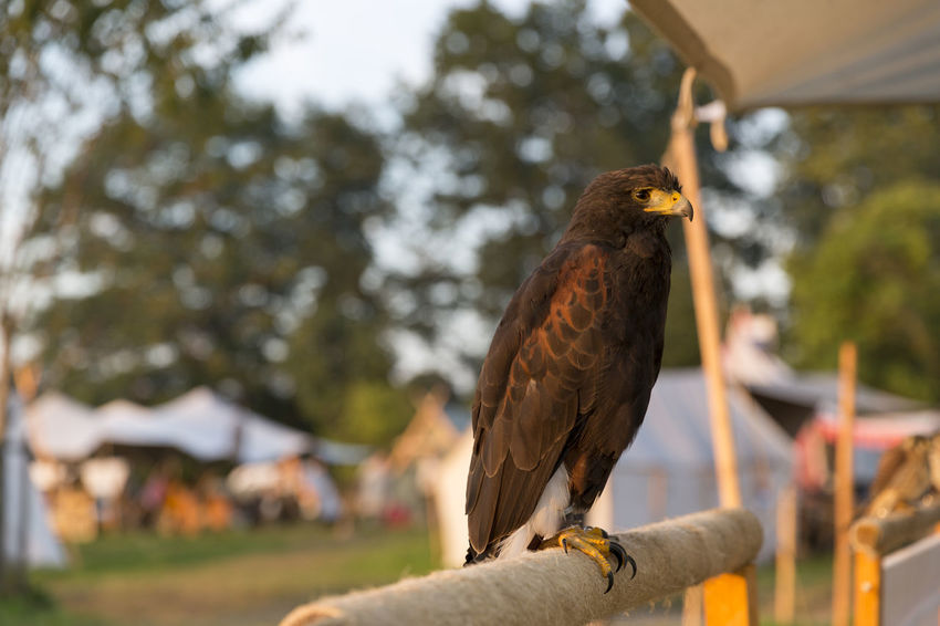 Hawk at Mediveal Festival Amerang Animal Themes Bird Birds Birds Of Prey Burg Day Festival Focus On Foreground Full Length GERMANY🇩🇪DEUTSCHERLAND@ Hawk Historical Hunting Bird Medival Mittelalter Nature Nature No People One Animal Outdoor Outdoor Photography Outdoors Ritterfest Tent