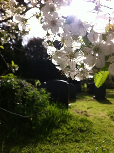 From out of the dust........ First Eyeem Photo Blossom In A Country Churchyard New Life & New Hope Cemeteryscape Graveyard Beauty Graveyard Collection Graveyard EyeEm Nature Lover Apple Blossom